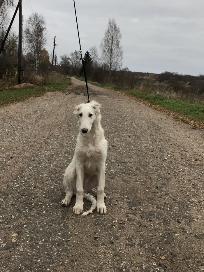 Русская псовая борзая (кобель) Лунная Радуга Гипноз