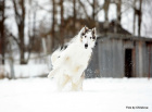 Русская псовая борзая (кобель) Лунная Радуга Южный Ветер